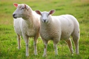 pecore-1024x683